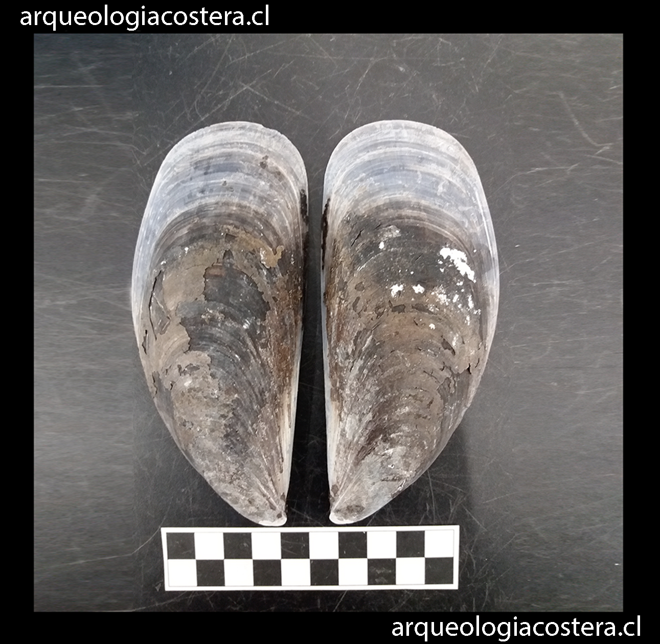 Concha de Choromytilus chorus